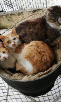 Δυο πορτοκαλί με λευκό γατάκια και ένας τιγράκος χουχουλιάζουν όλα μαζί μέσα σε μια άδεια γλάστρα.