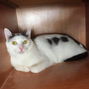 One of 2 adorable young cats for adoption, Lucas sits inside a wooden box looking out with yellow eyes