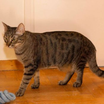 One of 2 adorable young cats, this tabby is walking on the floor on his way to play