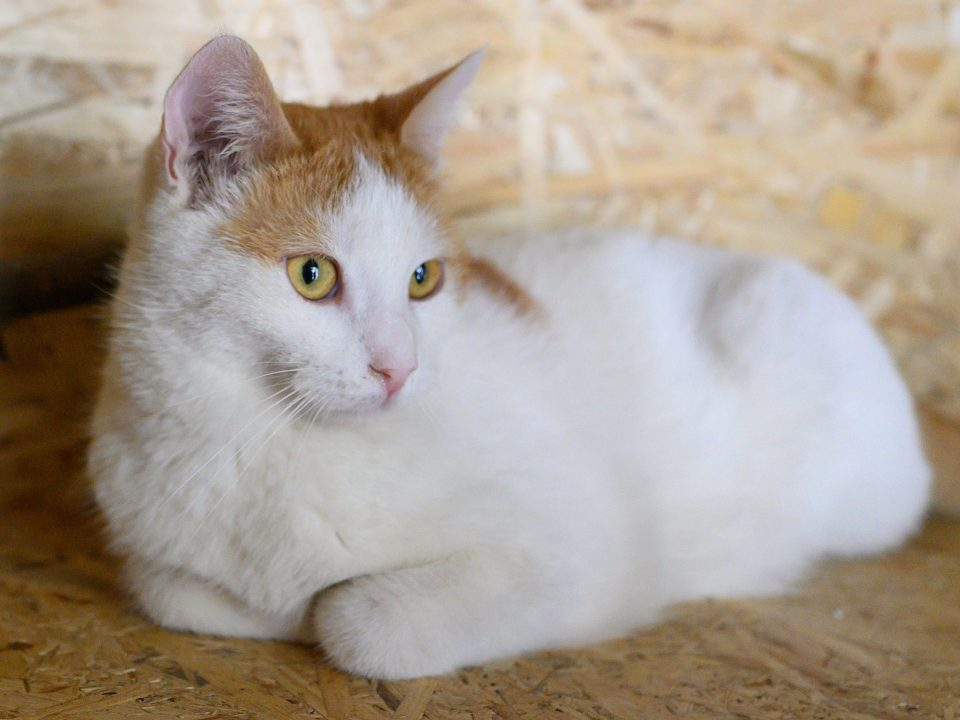 A beautiful mostly white male cat with ginger head is lying on a wooden shelf while looking in the distance.