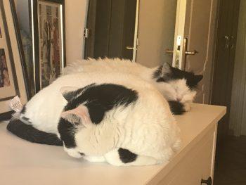 Δυο φουντωτές ασπρόμαυρες γάτες χουχουλιάζουν παρέα πάνω σε μια λευκή συρταριέρα.