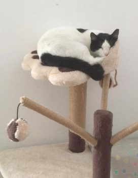 A black and white kitten sleeping on a beige and brown cat tree.