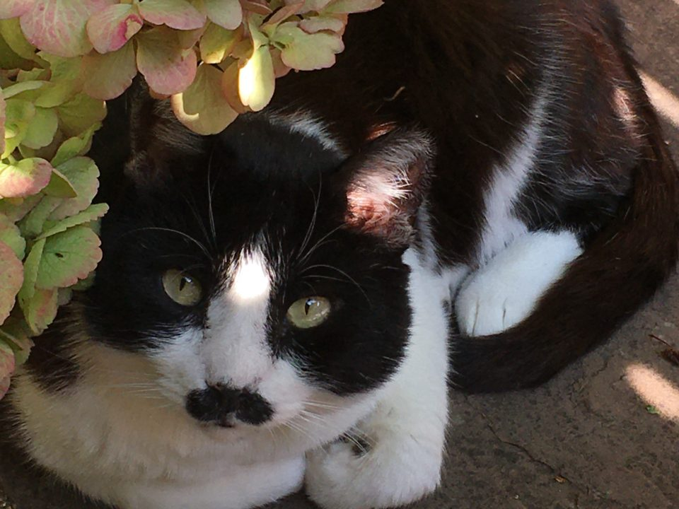 A chubby black and white cat with green eyes and a special moustache is posing with his paws tucked in next to a hydrangea.