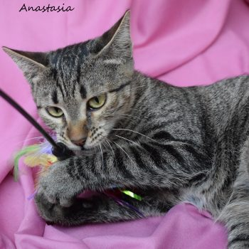 A cute tabby kitten is holding a feather toy with her paws while lying on a pink sheet.