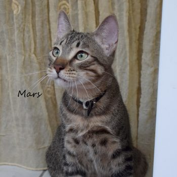 A spotted tabby with green eyes is sitting in front of a golden curtain while looking in the distance with his green eyes. He is wearing a black studded collar.