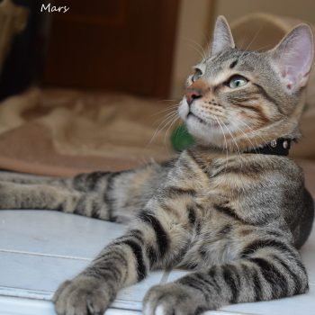 A gorgeous spotted tabby with green eyes and a black studde collar, is sitting gracefully while lookin up.