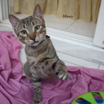 A young tabby is playing with some green toy while standing on a purple sheet.