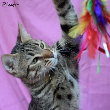 A young grey tabby is stretching his body to reach a colourful feather toy.