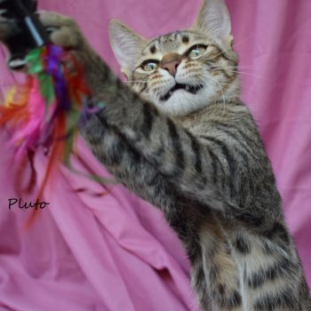 A young tabby boy with his mouth slightly open looks satisfied as he reached out a feather wand!