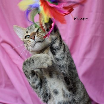Photo of a spotted tabby with a purple background. The kitten has its claws on a feather toy.