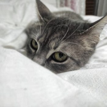 A young cat peeking over the edge of a blanket
