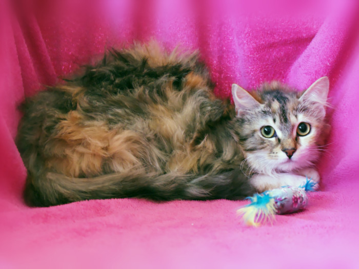 A long-haired calico cat lying on a pink backdrop with her toy beside her