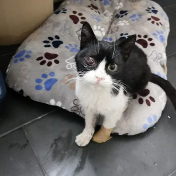 Frosty, the bravest cat, is black and white with a bad eye and is missing a paw