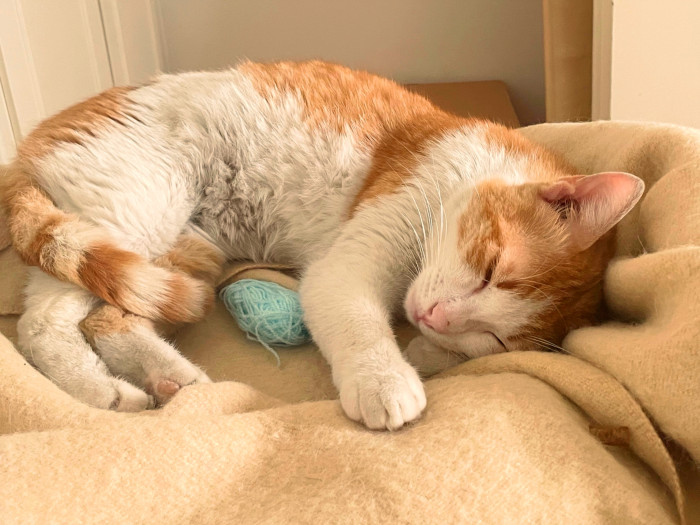 A sweet and loving cat, orange and white, culed up on a bed with a ball of yarn