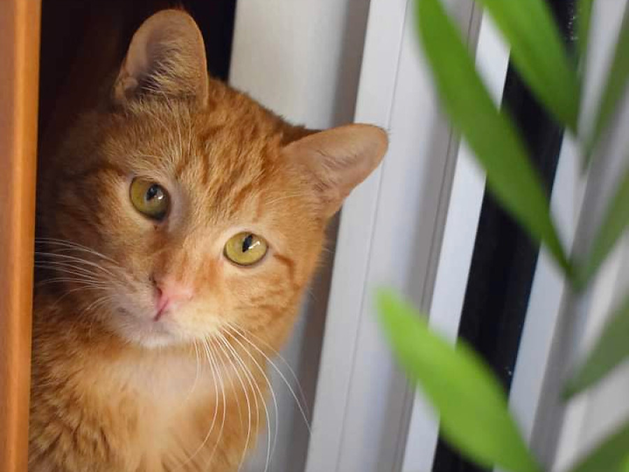 A stunning orange tabby cat looking at a plant