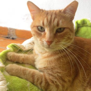 A sweet, friendly ginger cat looks into the camera for her photo