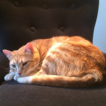 A friendly ginger cat sitting in the spotlight on a chair