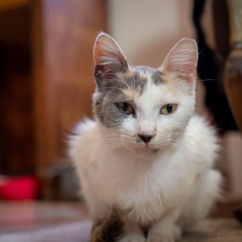 A sweet dilute calico is sitting on her paws looking into the camera.