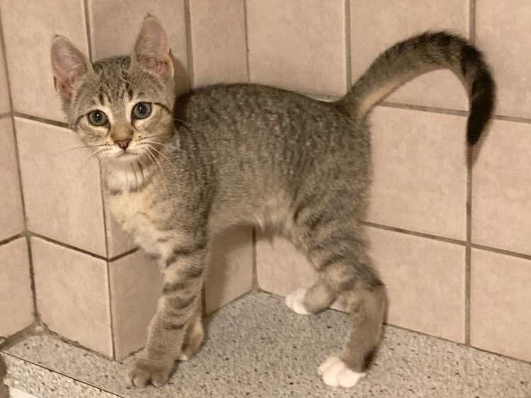 An ethereal tabby is standing in front of a tiled wall looking straight into the camera with her pretty green eyes.