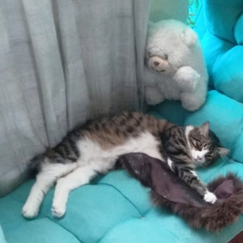 A beautiful female long-haired cat stretched out on a turquoise lounge chair