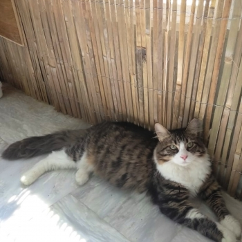 A gorgeous female long-haired cat sitting on a marble floor next to a bamboo fence