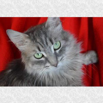 A silvery rescued cat for adoption against a red background