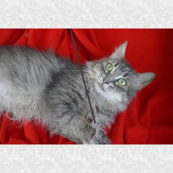 A silvery rescued cat for adoption plays with a string while lying on a red blanket