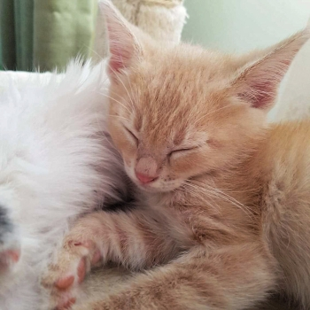 A ginger kitten, one of two rescue kittens for adoption, sleeping on a furry pillow.