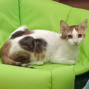A tricolored kitten, one of two rescue kittens for adoption, lies on a green blanket