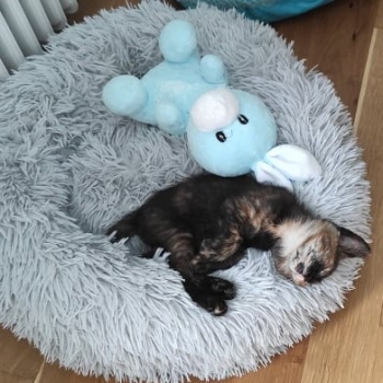 A sweet small tortie, one of the two bonded kittens for adoption, is sleeping comfortable in a fluffy cat cave.