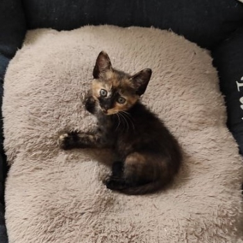 A tiny tortie, one of the two bonded kittens for adoption, is lying on a fluffy beige bed.