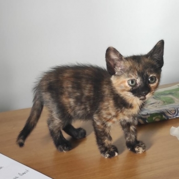 A very cute tortie, one of the two bonded kittens for adoption, is standing on her paws on a wooden table.