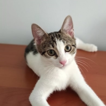 A very sweet white tabby is looking straight to us while lying comfortably on a wooden table.
