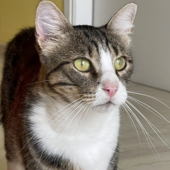 Close up of a cuddly cat with tabby and white markings and green eyes