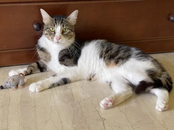 Ένας τρυφερός γάτος ξαπλωμένος στο πάτωμα μαζί με το ποντικάκι-παιχνίδι του.