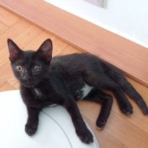 A cute black kitten ready for adoption sitting on the floor