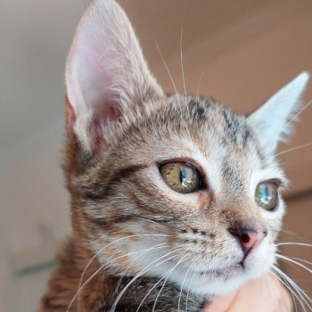 Close up of a beautiful tabby kitten, one of two kittens ready for adoption