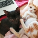These adorable kittens for adoption are sitting together on someone's lap