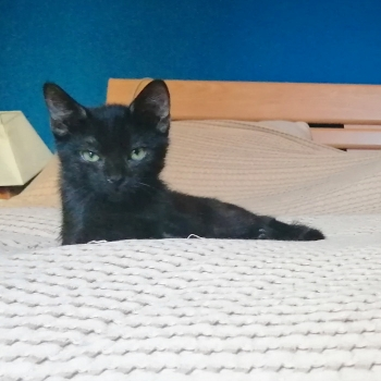 One of two adorable kittens for adoption sits on a bed