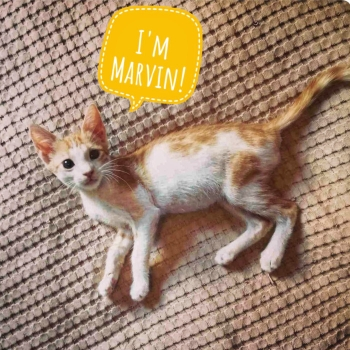 """One of two adorable kittens for adoption, this orange and white cat has a word bubble saying, """"I'm Marvin"""""""