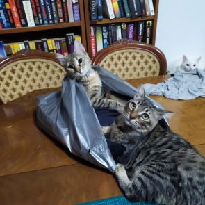 A sick kitten we rescued, now healthy, plays with her friend in a plastic bag