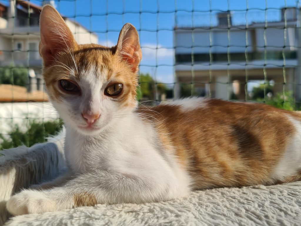A sun-bathed ginger kitten is looking into the camera while sitting on a cat tree which is outside at a balcony.