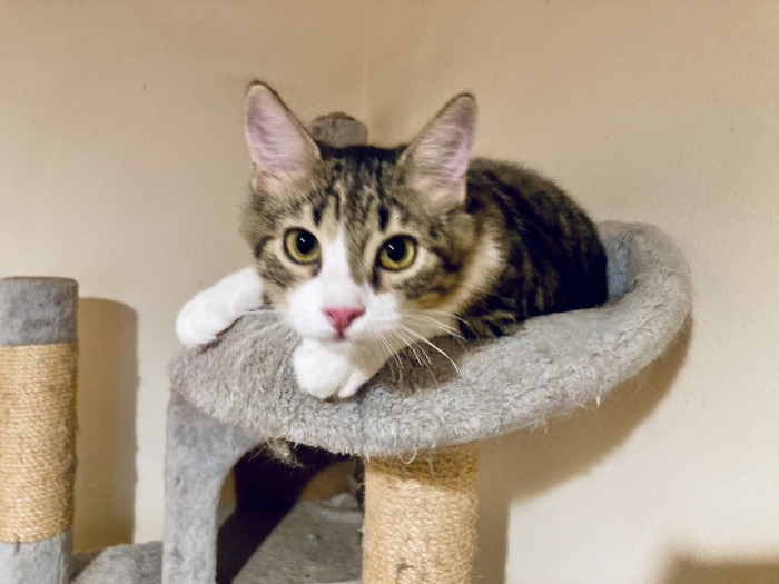 A sweet rescued kitten lying on a cat scratching tower