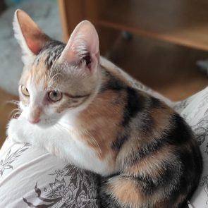 Close up of Magika, an abandoned kitten with calico colors
