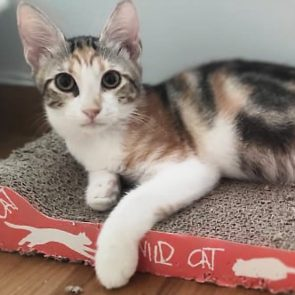 An abandoned kitten lies on a cardboard scratching pad in her foster home