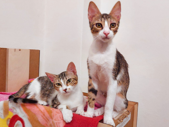 Two kittens looking for a home look remarkable alike though the are not real siblings.