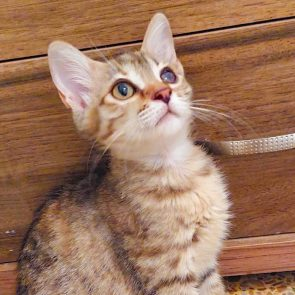 Phoebe, one of two rescued kittens, looks up using her one good eye