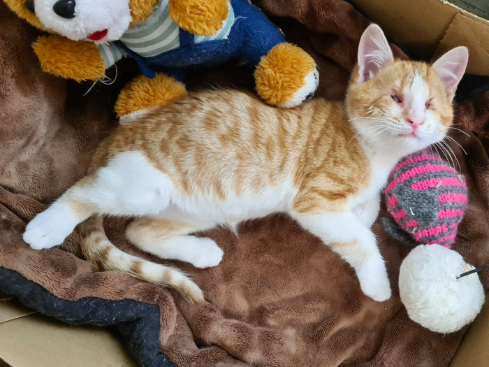 A blind kitten looking for adoption lies in a box surrounded by toys.