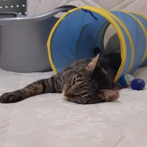 A special tabby cat is sleeping inside a blue cat tunnel.