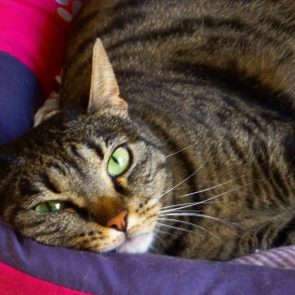 A beautiful tabby cat with green eyes is looking at us while lying inside a purple and pink cat bed.